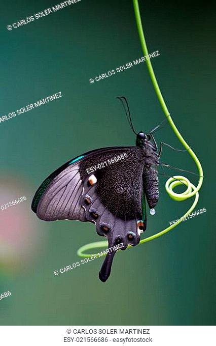 Butterfly, Mariposa Mito