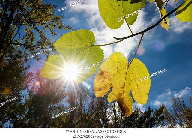 Common fig (Ficus carica) leaves. Higueruela, Albacete province, Castilla-La Mancha, Spain