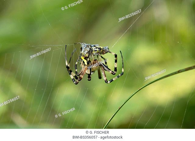 black-and-yellow argiope, black-and-yellow garden spider (Argiope bruennichi), wrapping its prey up in silk, Switzerland, Versoix