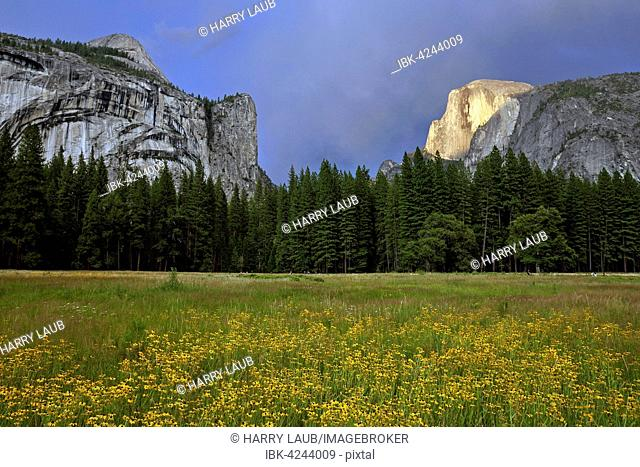 Flower meadow in Yosemite Valley, Half Dome behind, stormy mood, Yosemite National Park, USA