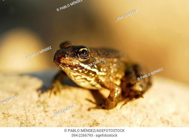 Young common green frog (Pelophylax perezi) in Sil river, Orense province, Spain