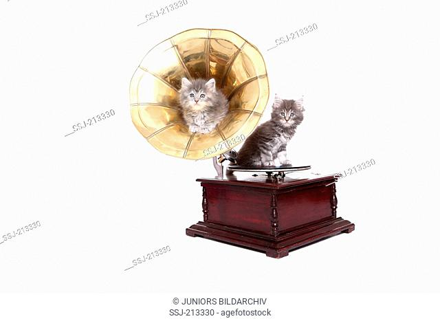 American Longhair, Maine Coon. Two kittens (6 weeks old) on a cylinder phonograph. Studio picture against a white background. Germany