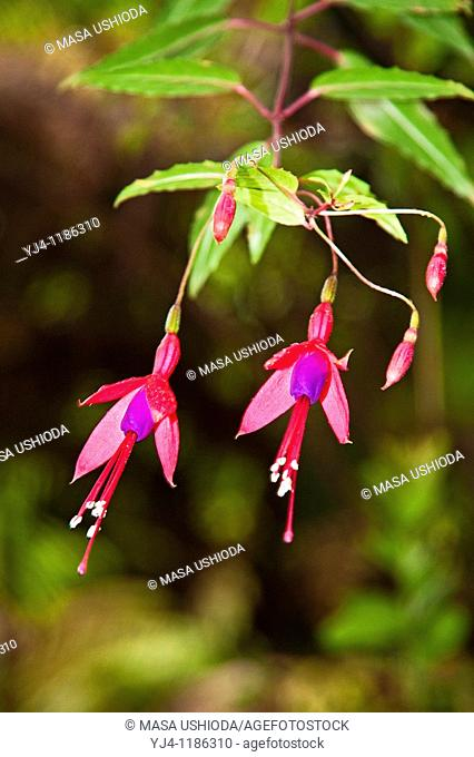 fuchsia flowers, Fuchsia magellanica, kulapepeiao in Hawaiian, so called 'Pele's Earrings', Hawaii Volcanoes National Park, Kilauea, Big Island, Hawaii, USA