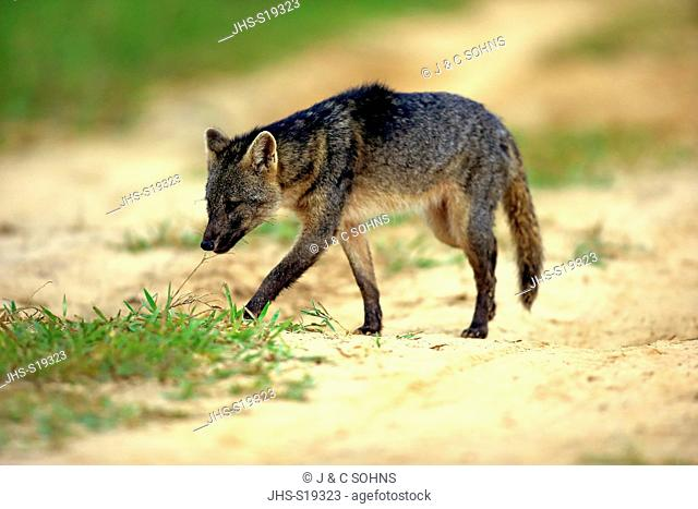 Crab-Eating Fox, (Cerdocyon thous), adult stalking, Pantanal, Mato Grosso, Brazil, South America