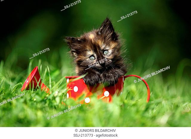 Norwegian Forest Cat. Kitten (6 weeks old) in a small red watering can with white polka dots on a meadow. Germany