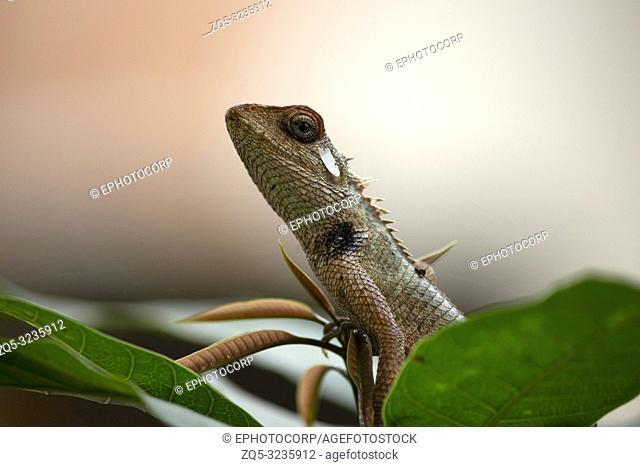 Agama, the Indian chameleon, Maharashtra, India