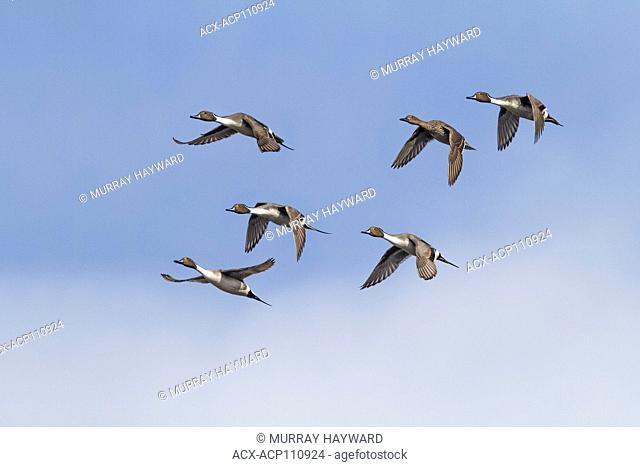 Northern Pintail (Anas acuta) Picturesque duck, in flight. Inverlake Road, Alberta, Canada