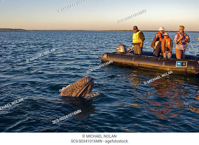 California Gray Whale calf Eschrichtius robustus approaching Zodiac in Magdalena Bay near Puerto Lopez Mateos on the Pacific side of the Baja Peninsula