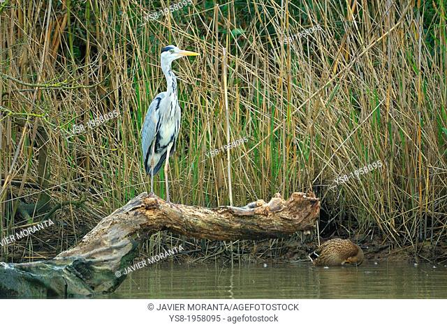 Grey Heron (Ardea cinerea), Albufera in Alcúdia, Majorca, Balearic Islands, Spain