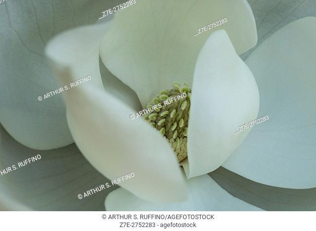 Macro image of a magnolia (Magnolia grandiflora, Magnoliaceae), blossom, Florida, USA