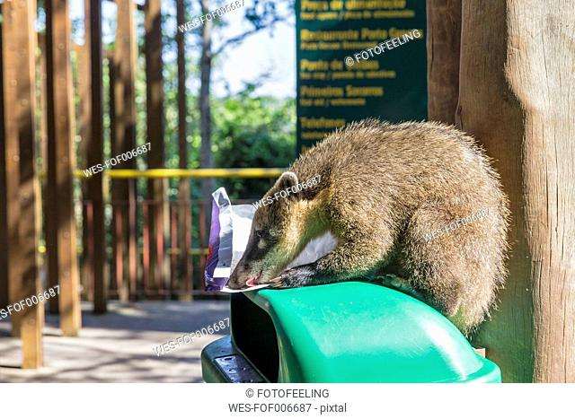Brazil, Parana, Iguazu National Park, South American coati, Nasua nasua, sitting on a waste bin licking off a paper