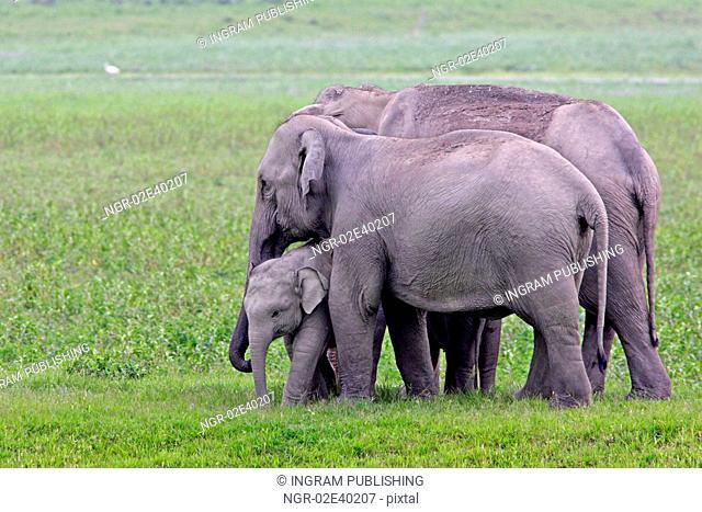 Asian Elephant female with calf