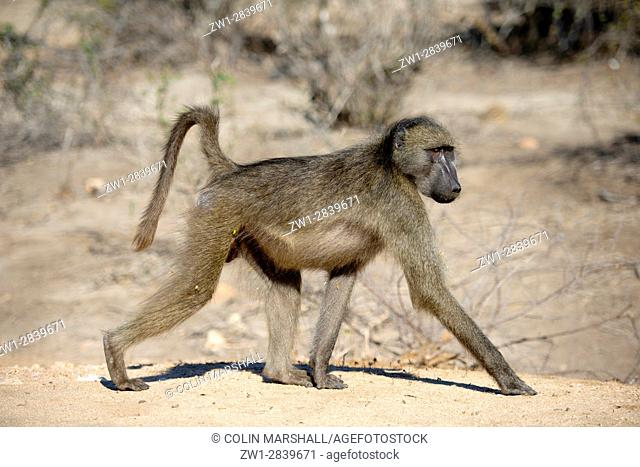 Chacma Baboon (Papio ursimus) walking, Kruger National Park, Transvaal, South Africa