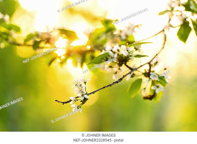 Blossoms on twig