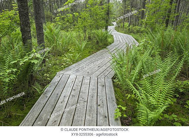 Wooden boardwalk crossing conifer forest with ferns, Johnville Bog and Forest Park; Québec; Canada