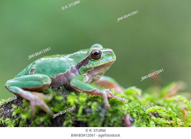 European treefrog, common treefrog, Central European treefrog (Hyla arborea), sitting on a moss cushion, side view, Germany, Bavaria