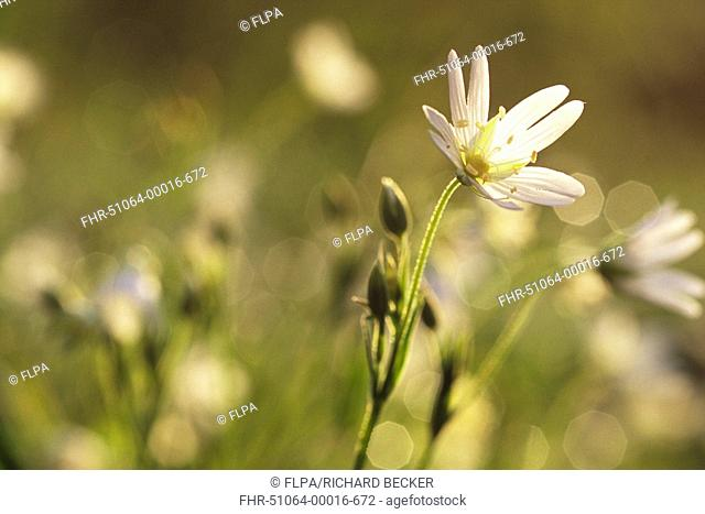 Greater Stitchwort Stellaria holostea backlit flowers, Powys, Wales