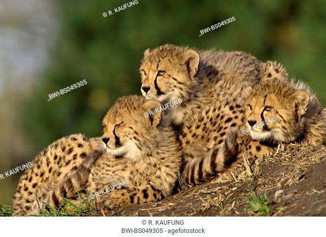 cheetah (Acinonyx jubatus), three young cheetahs lying together