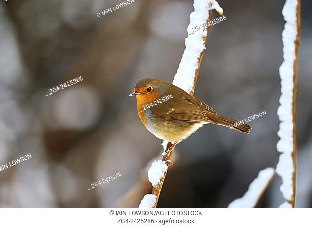 European Robin, Erithacus rubecula, West Lothian, Scotland, UK