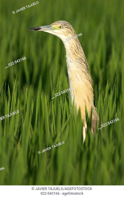 Squacco Heron (Ardeola ralloides). Rice field, Valencia province, Comunidad Valenciana, Spain