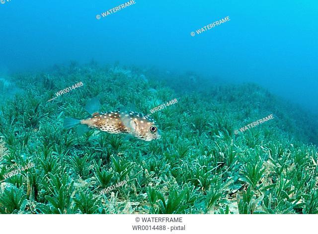Porcupinefish over Seagras, Diodon hystrix, Marsa Alam, Red Sea, Egypt