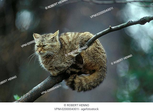 FELIS SYLVESTRISWILD CAT