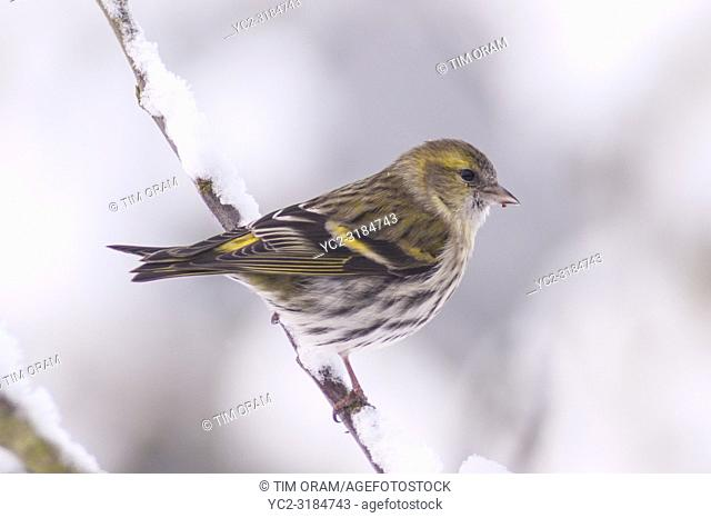 A Eurasian Siskin (Carduelis spinus) adult female feeding in freezing conditions in a Norfolk garden