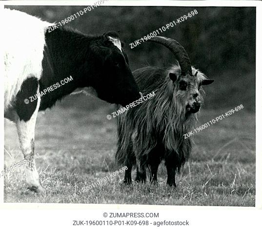 Mar. 02, 2012 - A rare sight: A wild goat pictured here is grazing today (Oct 27 1970) in a field at Longtown, Cumberland