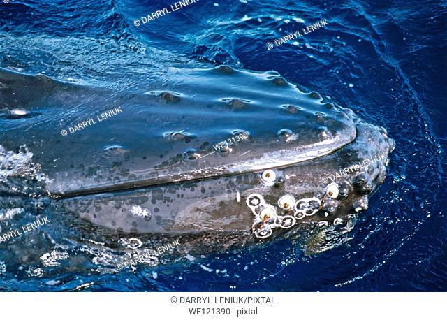 Humpback whale Megaptera novaeangliae  Ha'apai Islands  Tonga