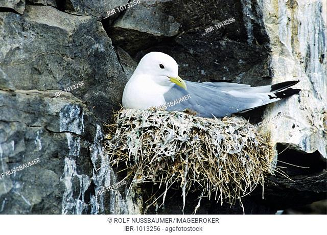 Black-legged Kittiwake (Rissa tridactyla), adult on nest, Ekkeroy, Norway, Scandinavia, Europe