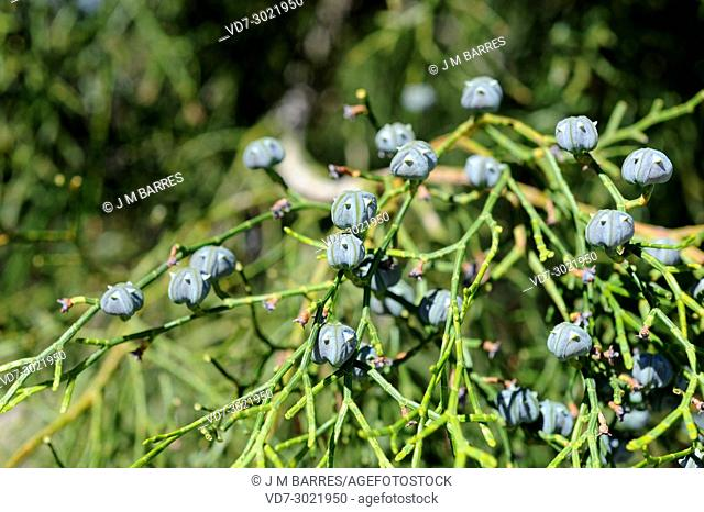 Araar, arar or sandarac (Tetraclinis articulata or Rhuja articulata) is a small tree endemic to west Mediterranean region. Cones and leaves detail