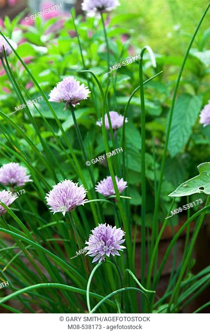 Study of chives in flower with other herbs in background