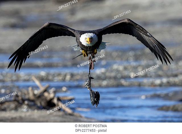 Bald Eagle (Haliaeetus Leucocephalus) Carrying An Eaten Salmon;Alaska United States Of America