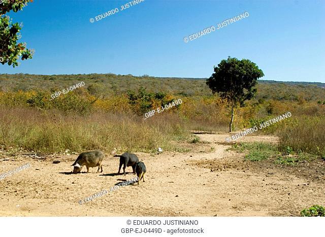 Pig and Savanna, Guaribas, Piauí, Brazil