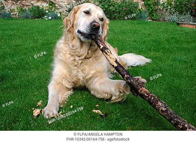 Domestic Dog, Golden Retriever, adult, laying on lawn, chewing long stick, England