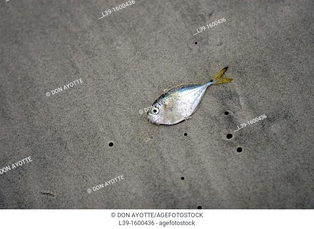 Young Fish is a small dead fish on the beach in Crescent Beach, FL, USA