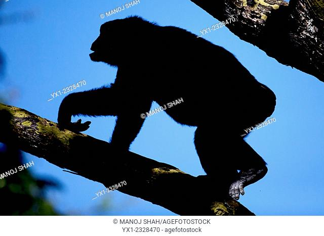 Chimpanzee moving on a tree branch