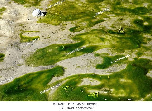 Seaweed in the headwaters of the Isar River in autumn, Bavaria, Germany, Europe