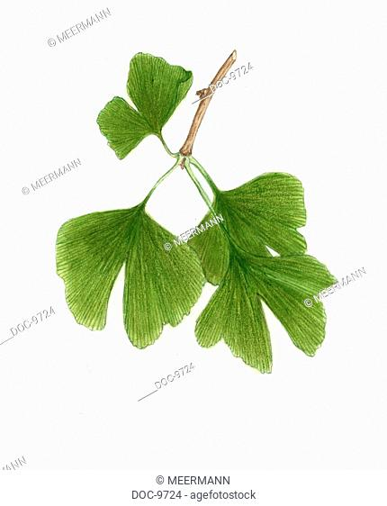 Ginkgo - Branch with leaves