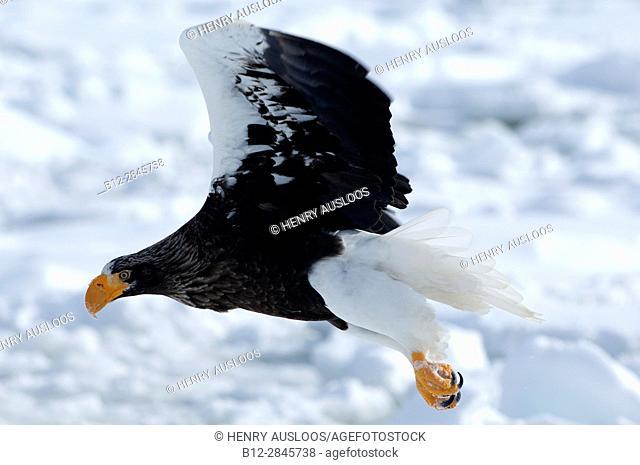 Steller's sea eagle (Haliaeetus pelagicus) flying, Russia