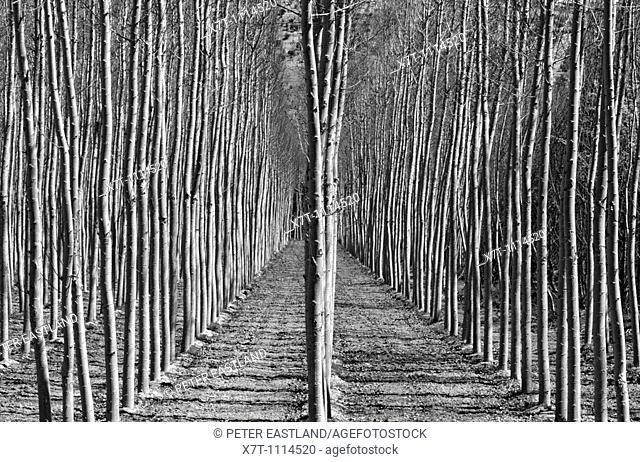 Stands of poplar trees near Alhama de Granada in Granada province, Southern Spain