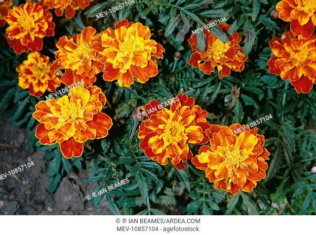 African Marigold - Close-up (Tagetes erecta ). ÈSmiles'. Fam: Asteraceae