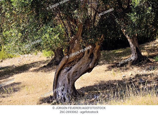 Old olive trees with big roots in the ancient farming land of Maremma, near Albarese, Tuscany, Italy