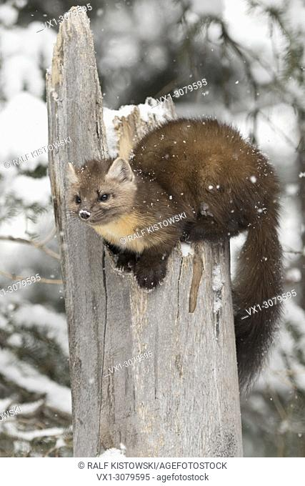 American Pine Marten ( Martes americana ) in winter during snowfall, sitting on top of a broken tree, Yellowstone NP, USA.