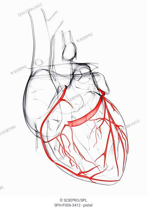 Coronary arteries, computer artwork