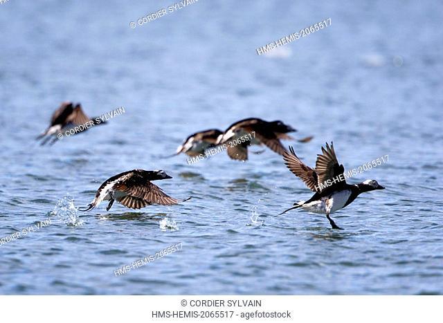United States, Alaska, Arctic National Wildlife Refuge, Kaktovik, Long-tailed duck or Oldsquaw (Clangula hyemalis), in flight