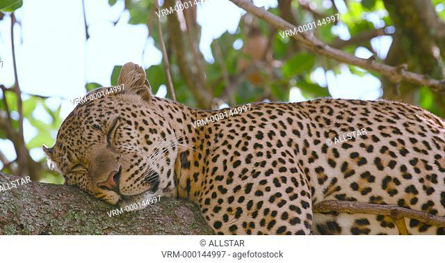 LEOPARD SLEEPING IN TREE; MAASAI MARA, KENYA, AFRICA; 31/01/2016