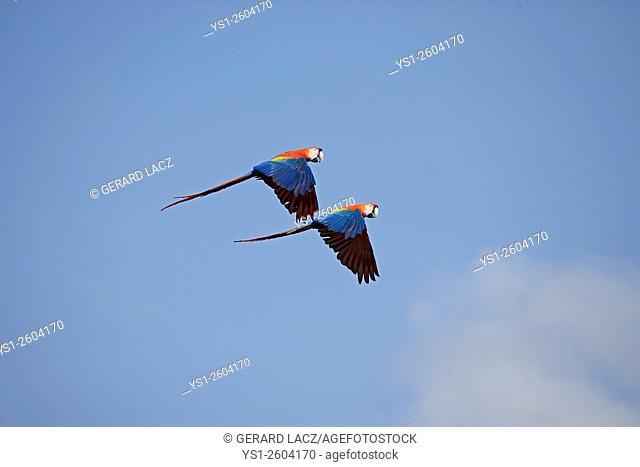 Scarlet Macaw, ara macao, Pair in flight, Los Lianos in Venezuela