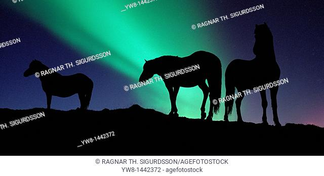 Silhouette of Horses under the Northern Lights  AURORA BOREALIS  in Iceland