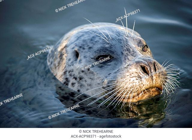 Pinnipedia, seal, Pacific Ocean, British Columbia, Canada